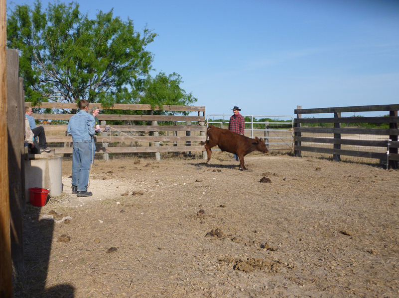 cattle-castrating-2