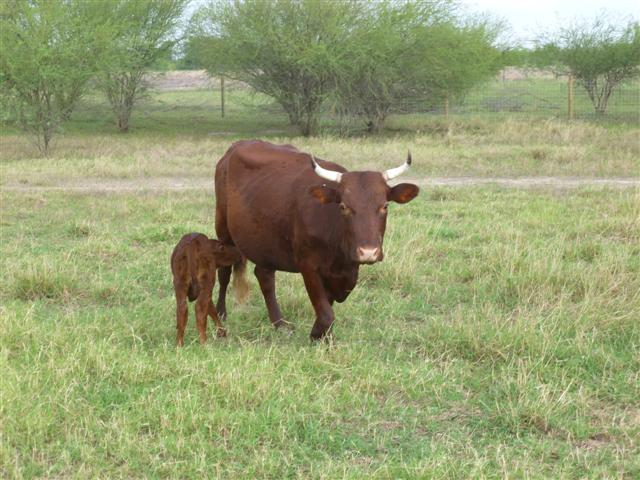 cattle-mom-and-heifer