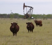 cattle-oil-well