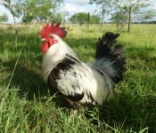 chicken-dorking-male