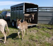 donkeys-arriving
