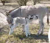 donkeys-nursing