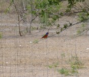 wildlife-painted-bunting