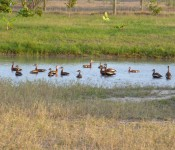 wildlife-whistling-ducks