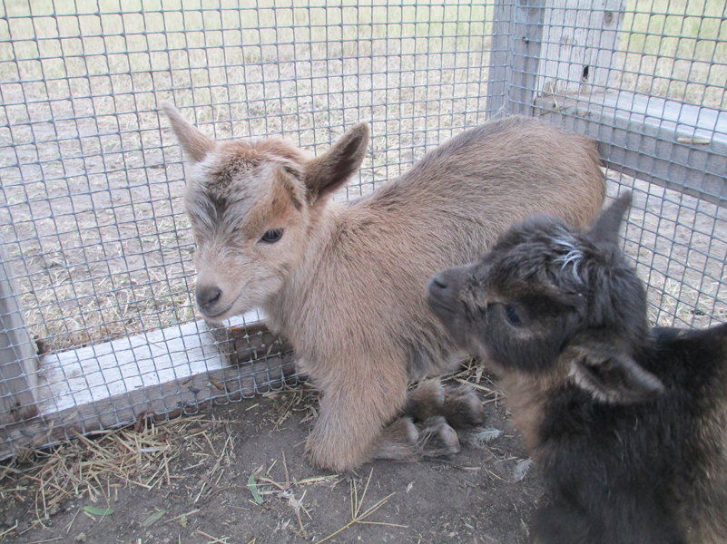 goats-baby-mixed