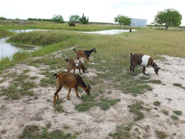 goats-female-mix