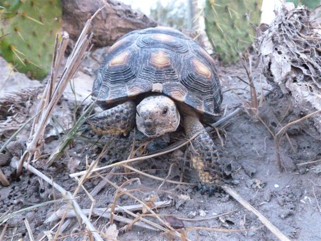 wildlife-tortoise